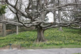 Oak Tree on Daffodil Hill