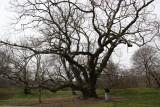 Walnut Trees - Brooklyn Botanical Gardens