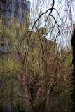 Cherry Tree New Foliage & Willow Tree