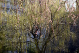 Willow Tree & Cherry Tree Branches