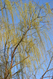 Willow Tree - New Foliage
