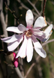 Magnolia Blossom near Cleopatra's Needle