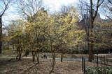 Park View - Cornus Dogwood in Bloom