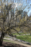 CPS View from Rock Hill - Cornus Dogwood Tree in Bloom