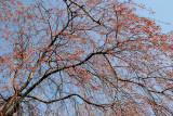 Cherry Tree New Blossoms