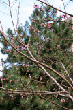 Peach Tree Blossoms & a Long Needle Pine Tree