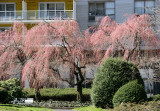 Cherry Trees -  New Blossoms