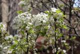 Bradford Pear Tree in Bloom