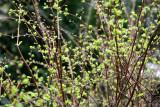 Spirea or Bridal Veil New Foliage