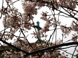 Cherry Tree Blossoms & Judson Church