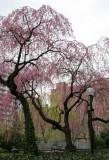 Garden View - Cherry Tree Blossoms