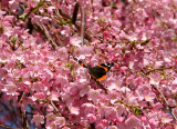 A Butterfly on Cherry Tree Blossoms