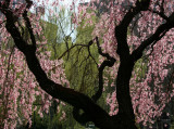 Cherry Tree Blossoms and a Willow Tree