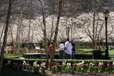 Cherry Tree & Tulip Garden at the Yacht  Basin