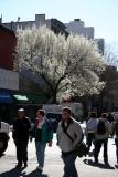 Street View - Pear Tree in Bloom