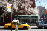 Pear Trees in Bloom at 3rd Avenue