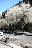 Pear Trees in Bloom - View toward 4th Avenue