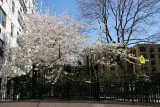 Cherry Tree Blossoms at Stewart House Residence