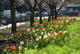 Tulip & Cherry Tree Garden