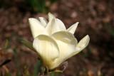 Magnolias - Brooklyn Botanical Gardens