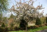 Crab Apple Tree in Bloom