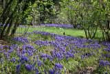 Grape Hyacinths & a Robin