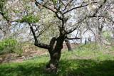 Cherry Tree on a Hillside