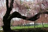 Spring 2007 - Brooklyn Botanic Garden