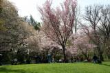 Garden View - Cherry Blossoms