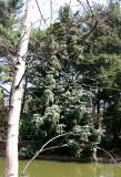 Chinese Fir Tree - Japanese Pond Garden