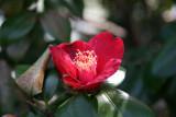 Red Camilia - Japanese Pond Garden