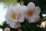 Pink Camilias - Japanese Pond Garden