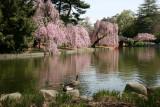 Ducks & Cherry Tree Blossoms - Japanese Pond Garden