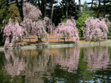 Cherry Tree Blossoms & Reflections - Japanese Pond Garden
