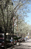 Pear Trees in Bloom - Southwest View
