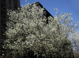 Pear Tree Blossoms at NYU School of Education Building