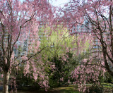Cherry Tree Blossoms, Willow & Pine Trees
