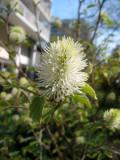 Fothergilla Bush Blossom