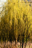 Willow & Young Poplar Trees