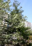 Pine Tree & Apple Tree Blossoms