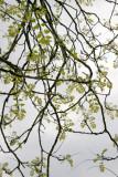 Golden Rain Tree - New Foliage
