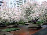 Crab Apple Tree Blossoms