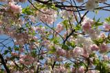 Cherry Blossoms - Japanese Pond Garden