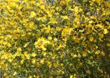 Japanese Yellow 'Rose' Bush - Japanese Pond Garden