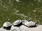 Sunbathing Turtles - Japanese Pond Garden