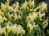 Iris - Brooklyn Botanical Gardens