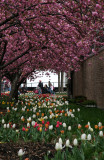 Cherry Tree & Tulip Gardens at Bleecker & Mercer Streets