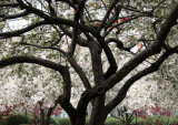 Crab Apple Trees in Bloom
