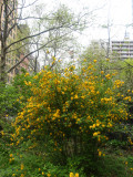 Playground Garden - Kerria Bushes in Bloom