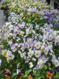 Farmers' Market at Tompkin's Park - Pansies for Sale